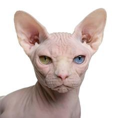 Photo about Sphynx cat, 1 year old, in front of white background. Image of pets, portrait, front - 13816786 Pretty Cats, Beautiful Cats, Animals Beautiful, Cute Animals, I Love Cats, Crazy Cats, Cute Cats, Spinx Cat, Animal Original