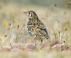 White's Ground Thrush, taken at Wuling Farm, Taichung County, Taiwan - photo by John&Fish, via Flickr
