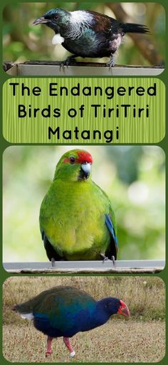 Check out this collection of rare and endangered birds living on Tiritiri Matangi Island an open bird sanctuary on the North Island of New Zealand. Rare Birds, Exotic Birds, North Island New Zealand, Auckland New Zealand, Travel Reviews, New Zealand Travel, Culture Travel, Travel Around The World, Travel Photography