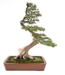 Resultado de imagen para bonsai inclinado