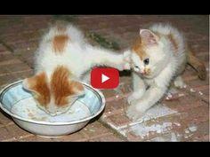 Ettől szinte garantáltan elkap a röhögőgörcs! Ezt a felvételt csak imádni lehet! :) :) Szereted a kiscicákat? Akkor ezt a videót neked találták ki! Jó szórakozást kívánunk! :D