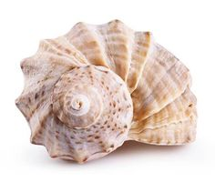 Find Sea Shell Isolated On White Background stock images in HD and millions of other royalty-free stock photos, illustrations and vectors in the Shutterstock collection. Sea Snail, Snail Shell, Tattoo Conchas, Flotsam And Jetsam, Draw On Photos, Seashell Art, Aesthetic Images, Natural Forms, Organic Shapes