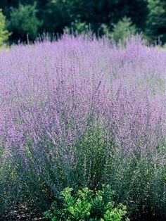 Russian Sage -hardy, grows well in sandy soil - deer resistant...in fact they really never even sample it.