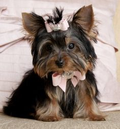 Tiny Teacup Yorkie PrincessShe is a Beauty!Tiny Tiny Tiny!SOLD!! Moving To Austin, TX