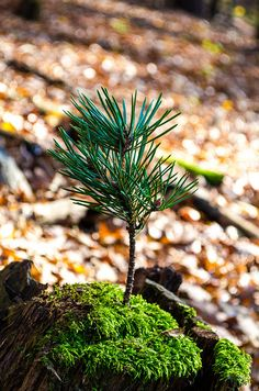 Nadelbaum   Flickr - Photo Sharing! Photography Photos, Explore, Plants, Tree Structure, Fall, Flora, Plant, Exploring