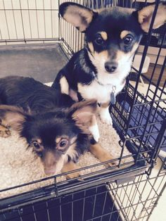 Bogie & Bindie is an adoptable Chihuahua searching for a forever family near Concord, CA. Use Petfinder to find adoptable pets in your area.