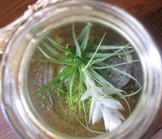air plant in mason jar