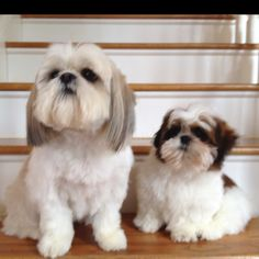 Shih Tzu's - Caution! They're addictive & will wrap you around their .... paw. ❦