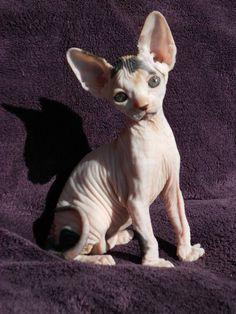 sphynx kittens available, sphynx kittens sale, bye sphynx kitten