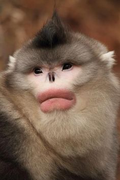 """The Yunnan snub-nosed monkey, a very rare weirdly nosed monkey from China that they didn't """"discover"""" until the 1990s. It's diet consists of lichen which takes 10-15 years to recover which means they have to wander over a very large range. They also are the primate that lives at the highest elevation, except for man."""