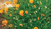 20 Gardenworthy Self-Sowers...these are great because you'll always have lots of flowers.