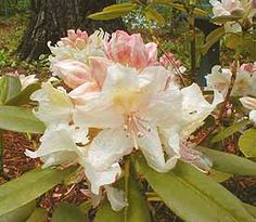Rhododendron 'Arctic Gold' has white and pale yellow flowers. It grows to a height of 3 feet in 10 years and is cold hardy to -20 F (-29 C).