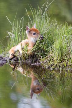 Young Fawn By Water, by Mikael Males #reflection