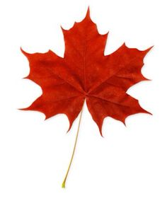 Derived from the Sugar Maple tree, this extract works as a natural alpha hydroxy acid that is often used in skin care products to minimize and repair cell damage caused by free radicals. Maple Leaf Drawing, Maple Tree Tattoos, Canadian Tattoo, Canadian Maple Leaf, Cheryl Blossom, Parade Of Homes, Tree Leaves, Warm Colors, Autumn Leaves