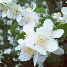 Heinäkuun herkästi huojui. Viehkeitä valkoisia versoi. Tuoksui tuulessa tutulta. Keskipäivän kukkivin kohtaaminen.  #kukkia #kukkivapensas #kesäpäivä #heinäkuu #flowers #summer #summerday #nature #luonto #finland