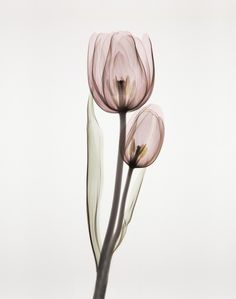 Tulipa Two by Albert Koetsier. Gallery wrap by InGallery.com