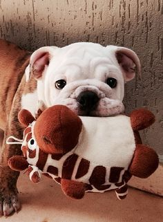 This picture is great.  An English Bulldog with a little stuffed Giraffe toy.  The Bulldog had the sweetest look on his face.  #puppied