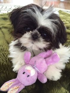 Toy shih tzu Lola Happy Easter!