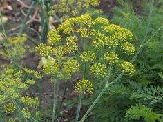 Cheap dill seeds, Buy Quality herb seeds directly from China seeds herbs Suppliers: 2017 Sale Summer Pisces Excluded Beautifying Seeds Herb Seed Trinidad Hong Fennel Dill Seeds Authentic Real Shot / Pack Bonsai Seeds, Home Garden Plants, Herb Plants, Aromatic Herbs, Herb Seeds, Love Garden, Garden Ideas, Organic Seeds, Annual Plants
