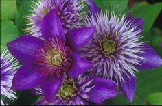 A double dark blue to purple clematis, Multi-Blue Flowers Perennials, Flower Names, Plants, Purple Garden, Beautiful Flowers, Perennials, Blue Clematis, Blue Plants, Garden Plants