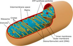 Mitochondria are organelles that produce energy for our body. Damage to their DNA or to certain nuclear genes can cause a mitochondrial disease, which may sometimes be serious. Cell Structure, Structure And Function, Cell Biology, Ap Biology, Biology Lessons, Study Biology, Dna E Rna, Mitochondrial Dna, The Cell