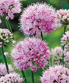 "Allium, Summer Beauty  Partial Shade  Plant Height: 	18-24""  Spacing: 	12""  Hardy In: 	4-9"