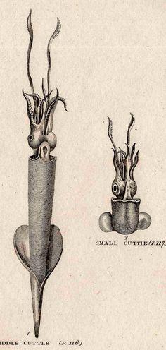 1812 sea life original antique engraving  by antiqueprintstore, $25.00