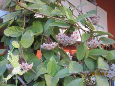Hoya carnosa.