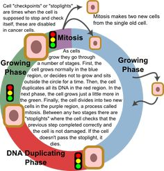 Cancer cell cycle