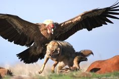 Turkey Vulture (Cathartes aura) attacking a coyote. (Yoram Shpirer)