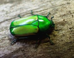 Chlorocala africana mutica - pet jewel beetle (I just got a new terrarium and a couple of chlorocala africana africanas :)) Beetle, Terrarium, Bugs, Butterflies, Jewel, Insects, Creatures, Couple, Board