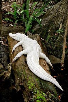 White alligator is one of rarest in world with only 12 of its kind. Dont you think its amaizing O