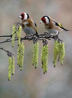 Two European Goldfinch sitting on willow tree's lambstail foliage. - from Jan's Page of Awesomeness
