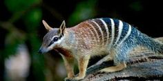 Petition: SAVE NUMBAT, MYRMECOBIUS FASCIATUS, IS NEAR TO EXI... - Care2 News Network