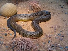 Inland Taipan Claim to Fame: The most poisonous snake on the planet; a single bite contains enough poison to kill 100 humans. Amphibians, Reptiles, Mammals, Inland Taipan, Poisonous Snakes, Deadly Animals, Snake Venom, Animals Amazing, Australian Animals