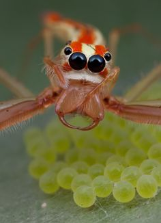 What an amazing Jumping Spider!