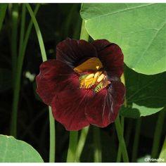 Tropaeolum minus 'Black Velvet', Nasturtium