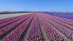 Spring in the Netherlands is manifested by the beautiful colors and shapes in the tulip fields. A drone has flown over these fields realizing unique images. Photography Camera, Aerial Photography, Photography Tips, Champs, Unique Vacations, Aerial Footage, Tulip Festival, Most Romantic Places, Tulip Fields