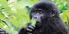 Uganda, Rwanda and the DRC - comparing your gorilla trekking options.