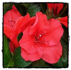 Autumn Sunset Encore Azalea  ~ See the Plant Information Index for more details at kieferlandscaping.com