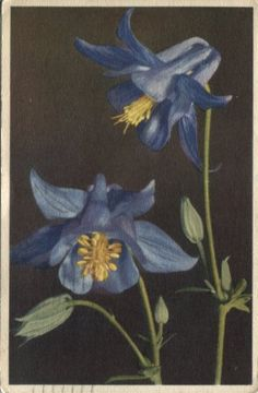 Stehli Postcard - 671, Aquilegia vulgaris, Akelei, Ancolies, Columbines