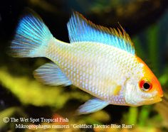 Gold Face Electric Blue Ram (Mikrogeophagus ramirezi)