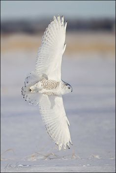 Snowy Owl Banking in Flight -- I saw one of these like, only a couple days ago! It was awesome!