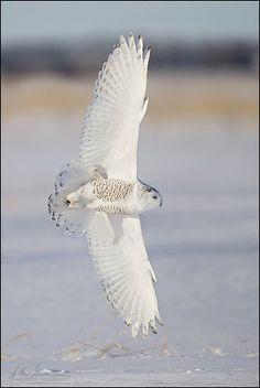 Snowy Owl Banking in Flight