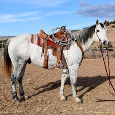 10 Year Old Gray Ranch Gelding for Sale - For more information click on the image or see ad # 40865 on www.RanchWorldAds.com
