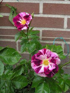 'Purple Splash ( Oh Wow)' | Large-Flowered Climber Rose.  Tom Carruth, 2009