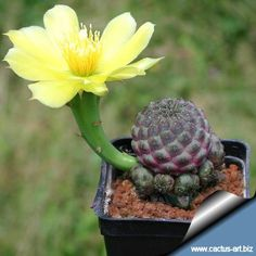 Sulcorebutia rauschii HS 121/1 with a flowers of Opuntia compressa used as grafting stock
