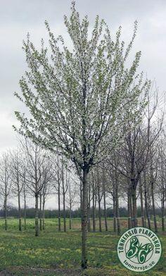 Prunus - Prydnadskörsbär