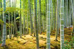 La bambouseraie d'Arashiyama au Japon via Shutterstock