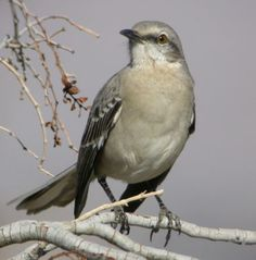 50 State Birds of the United States